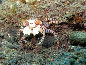 boxer crab