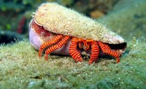 common crab