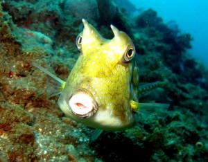 Boxhorn fish